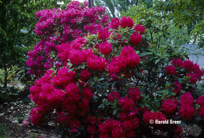 Image Rhododendron 'Very Berry'
