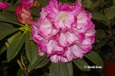 Rhododendron 'Viennese Waltz'