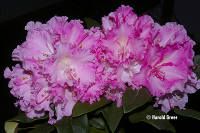 Rhododendron 'Vintage Rose'
