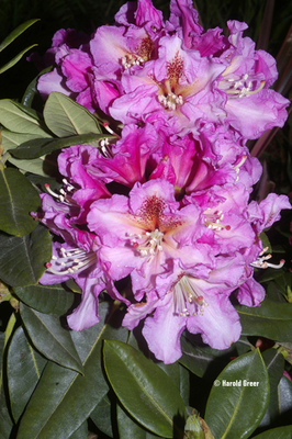 Rhododendron 'Voluptuous'