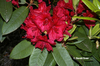 Rhododendron 'Vulcan's Son'