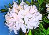 Azalea 'White Lights'