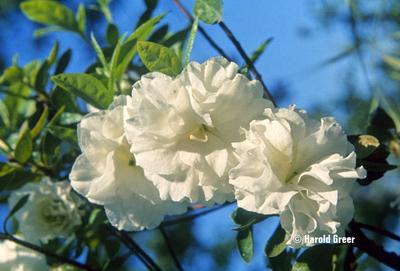 Image Azalea 'White Rosebud'