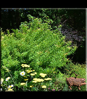 Image Wisteria sinensis 'Kofuji'