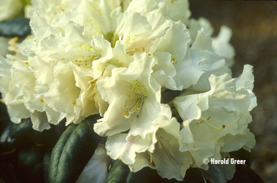 Rhododendron 'Yaku Princess'