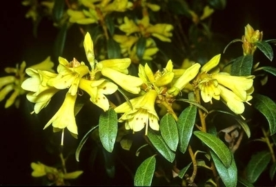 Image Rhododendron 'Yellow Hammer'