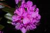 Rhododendron 'Weston's Aglo'
