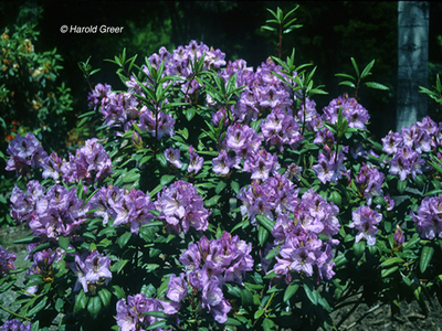 Rhododendron 'Arthur Bedford'
