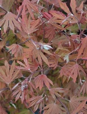 Acer circinatum 'Ki setsudoe'