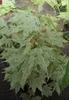 Acer pictum 'Kamasaka nishiki'