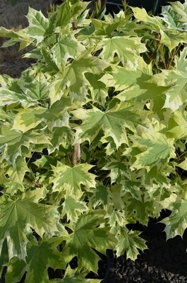 Acer platanoides (variegated form)