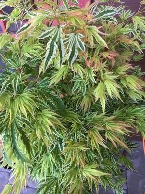 Image Acer palmatum 'Yama nishiki'