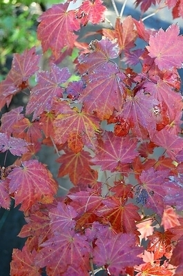 Acer shirasawanum 'Ruby Red'