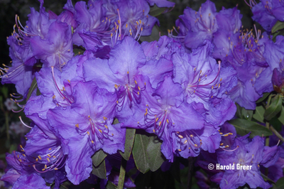 Rhododendron augustinii 'Barto Blue'