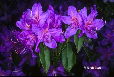 Rhododendron augustinii 'Lacamus Blue'