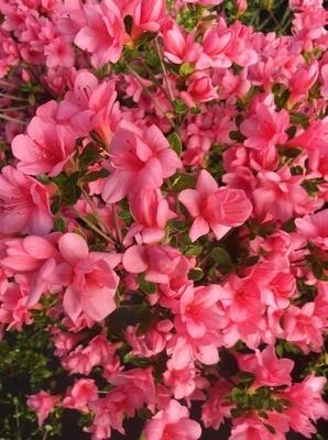 Azalea 'Coral Bells'