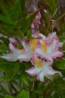 Image Azalea 'Humboldt Picotee'