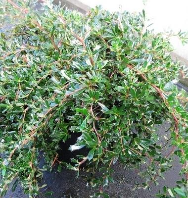 Berberis x stenophylla 'Irwinii'