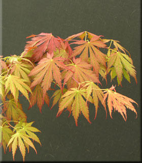 Image Japanese Maples, Ornamental Trees
