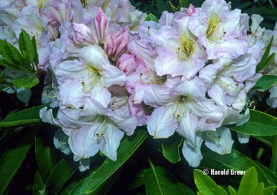 Rhododendron 'Caroline'
