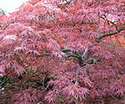 Japanese Maples, Ornamental Trees
