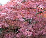 Japanese Maples, Ornamental Trees