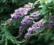 Wisteria and Vines