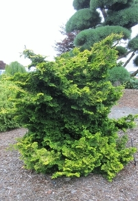 Chamaecyparis obtusa 'Golden Nymph'