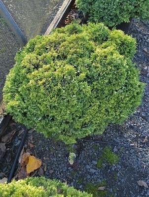 Chamaecyparis pisifera 'Minima Variegata'