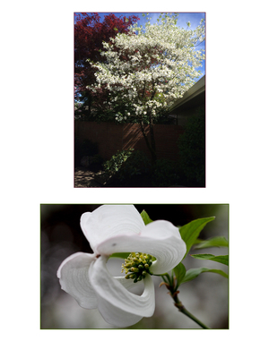 Cornus florida subsp. urbiniana (pringlei)