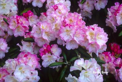Rhododendron degronianum ssp. yakushimanum 'Ken Janeck'