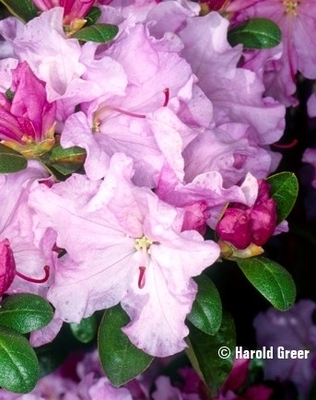 Rhododendron 'Emasculum'