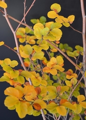 Fagus sylvatica 'Cochleata'