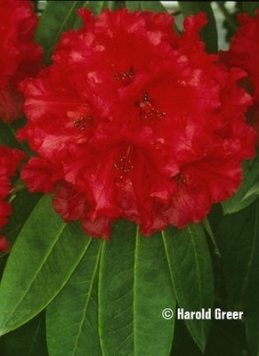Image Rhododendron 'Grace Seabrook'