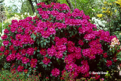 Image Rhododendron 'Hallelujah'