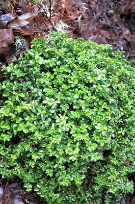 Buxus microphylla 'Kingsville'