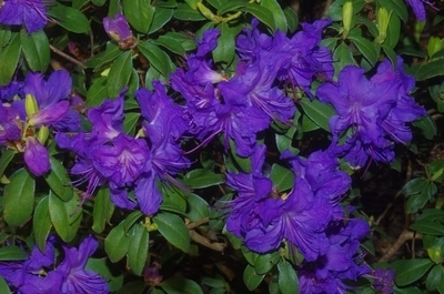 Rhododendron 'Blue Ridge'