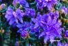 Image Rhododendron fastigiatum