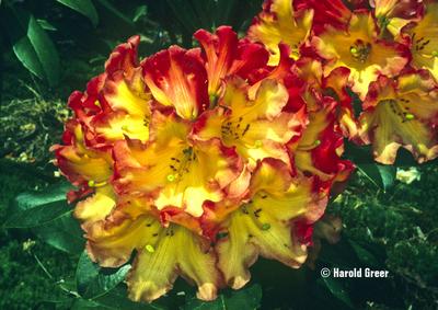 Rhododendron 'Killer Diller'