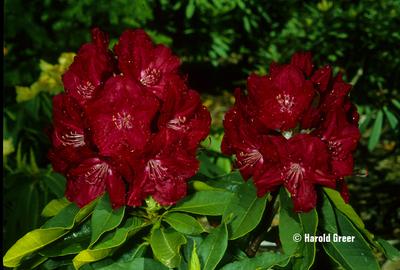 Rhododendron 'Lem's Stormcloud'