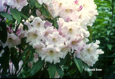 Image Rhododendron 'Loderi Pink Diamond'