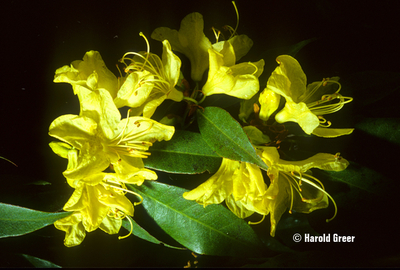 Image Rhododendron lutescens
