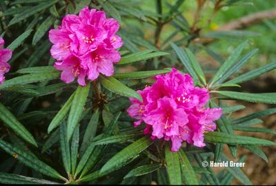 Image Rhododendron makinoi