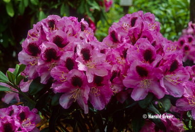 Rhododendron 'Marchioness of Lansdowne'