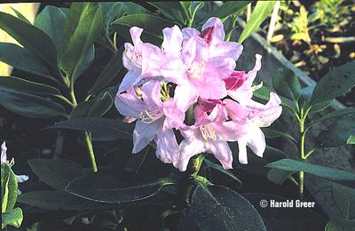 Rhododendron 'Myrtilfolium'