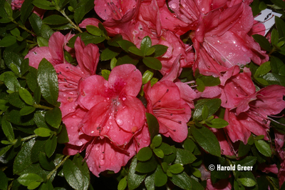Image Rhododendron nakaharae 'Pink ES'