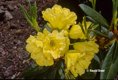 Rhododendron 'Nike'