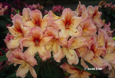 Image Rhododendron 'Satsop Sunrise'