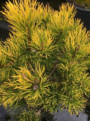 Image Pinus mugo 'Carstens'