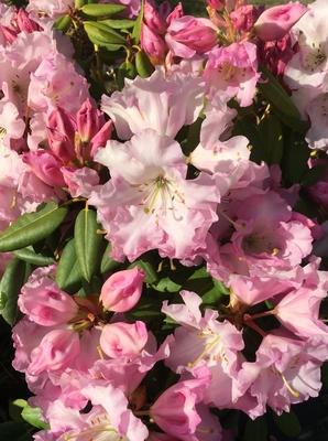 Image Rhododendron 'Compacta'